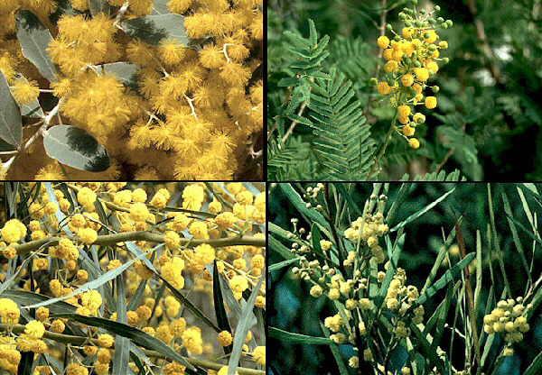 Elimina colesterol alto con Fibra de Acacia